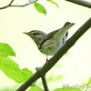 Yellow-rumped Warbler <br /> Tower Grove Park <br /> St. Louis Missouri