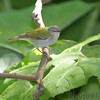Tennessee Warbler <br /> Tower Grove Park <br /> St. Louis Missouri