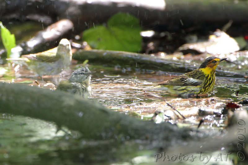 Tennessee Warbler and Cape May Warbler <br /> Tower Grove Park <br /> St. Louis Missouri