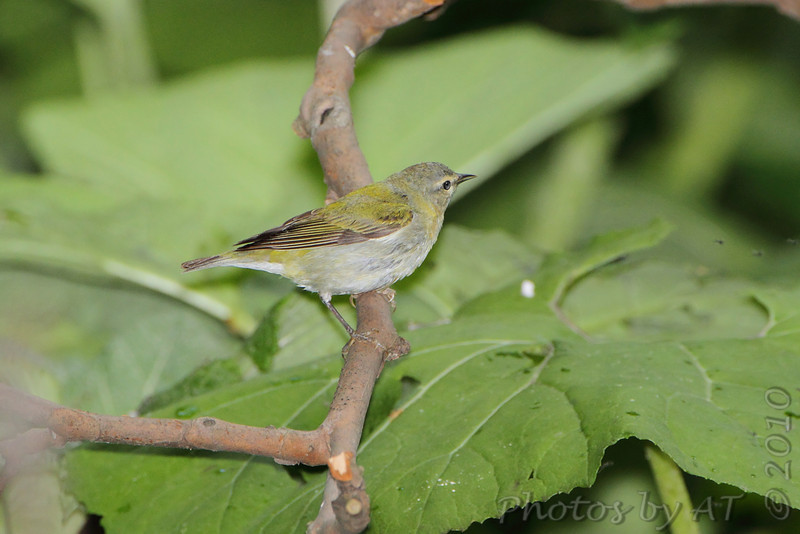 Tennessee Warbler <br /> Tower Grove Park <br /> St. Louis Missouri