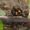 American Redstart <br /> Tower Grove Park <br /> St. Louis Missouri