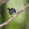 Black and White Warbler <br /> Tower Grove Park <br /> St. Louis Missouri