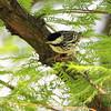 Blackpoll Warbler <br /> Tower Grove Park <br /> St. Louis Missouri