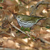 Ovenbird <br /> Tower Grove Park <br /> St. Louis Missouri