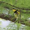 Magnolia Warbler <br /> Tower Grove Park <br /> St. Louis Missouri