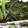 Common Yellowthroat <br /> Tower Grove Park <br /> St. Louis Missouri