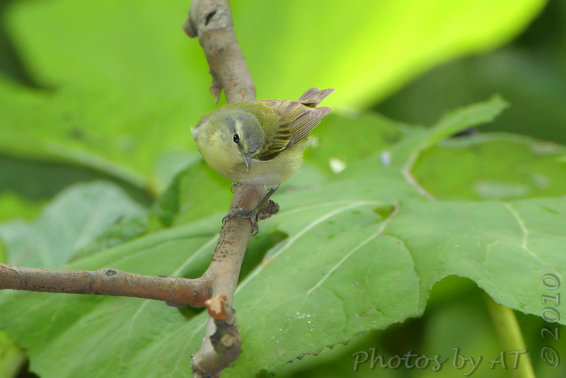 Orange-crowned or Tennessee Warbler <br /> Tower Grove Park <br /> St. Louis Missouri