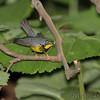 Canada Warbler <br /> Tower Grove Park <br /> St. Louis Missouri