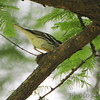 Blackpoll Warbler <br /> Tower Grove Park <br /> St. Louis Missouri