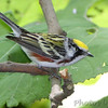Chestnut-sided Warbler <br /> Tower Grove Park <br /> St. Louis Missouri