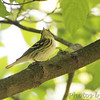 Blackpoll Warbler female <br /> Tower Grove Park <br /> St. Louis Missouri