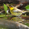 Cape May Warbler <br /> Tower Grove Park <br /> St. Louis Missouri
