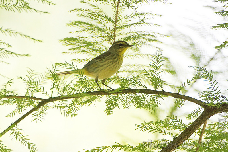 Palm Warbler <br /> Tower Grove Park<br /> St. Louis Missouri