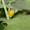 Nashville Warbler <br /> Tower Grove Park <br /> St. Louis Missouri