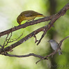 Summer Tanager and Tennessee Warbler <br /> Tower Grove park <br /> St. Louis Missouri