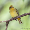 Summer Tanager <br /> Tower Grove park <br /> St. Louis Missouri