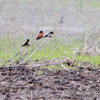 Barn Swallows <br /> Columbia Bottom Conservation Area