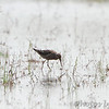 Stilt Sandpiper and Dragonfly <br /> Columbia Bottom Conservation Area