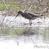 Stilt Sandpiper in full breeding plumage <br /> Columbia Bottom Conservation Area