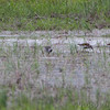 Dunlin and Lesser Yellowlegs <br /> Columbia Bottom Conservation Area