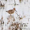 Long-billed Dowitcher <br /> Firma and Dalbow Roads