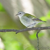 Tennessee Warbler <br /> Tower Grove Park
