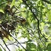 Blackburnian Warbler <br /> Tower Grove Park