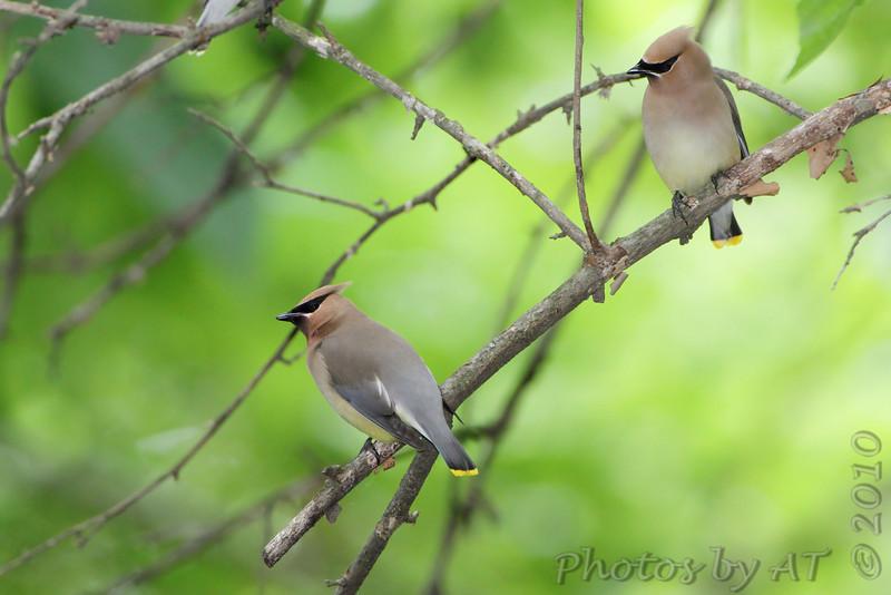 Cedar Waxwings <br /> Tower Grove Park