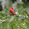 Scarlet Tanager <br /> Tower Grove Park