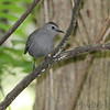 Gray Catbird <br /> Tower Grove Park