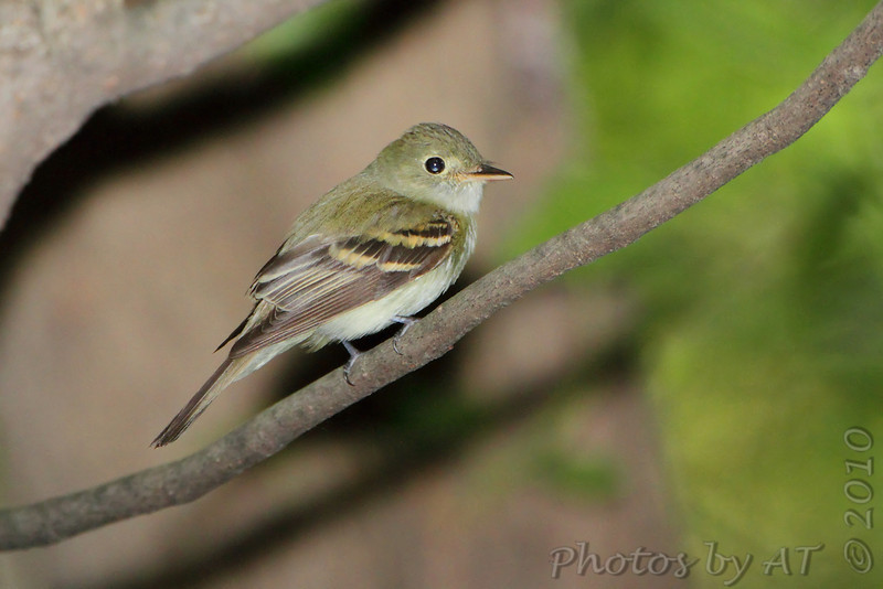 Acadian Flycatcher <br /> Tower grove park
