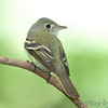 Acadian Flycatcher <br /> Tower Grove Park <br /> <br /> No. 137 on my Lifetime List of Birds <br /> Photographed in Missouri