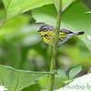 Magnolia Warbler <br /> Tower Grove Park