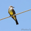 Western Kingbird (one of pair)<br /> North of St. Charles Road on Ferguson Lane <br /> just before overhead railroad bridge <br /> Bridgeton, Mo.