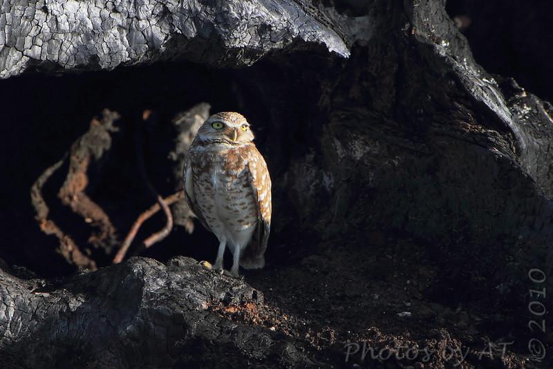 Burrowing Owl <br /> Road B <br /> Monroe County, Illinois