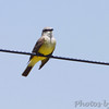 Western Kingbird <br /> End of St. Charles Road at levee <br /> Bridgeton, Mo.