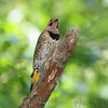 Northern Flicker <br /> Hickory Woods CA <br /> Bridgeton, Mo.