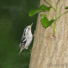 Black and White Warbler <br /> Tower Grove Park