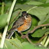 American Robin <br /> Tower Grove Park