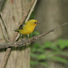 Scarlet Tanager female <br /> Tower Grove Park