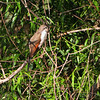 Yellow-billed Cuckoo <br /> Clarence Cannon National Wildlife Refuge