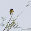 Common Yellowthroat <br /> Clarence Cannon National Wildlife Refuge
