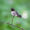 Ruby-throated Hummingbird <br /> City of Bridgeton <br /> St. Louis County, Missouri <br /> 2010-05-03