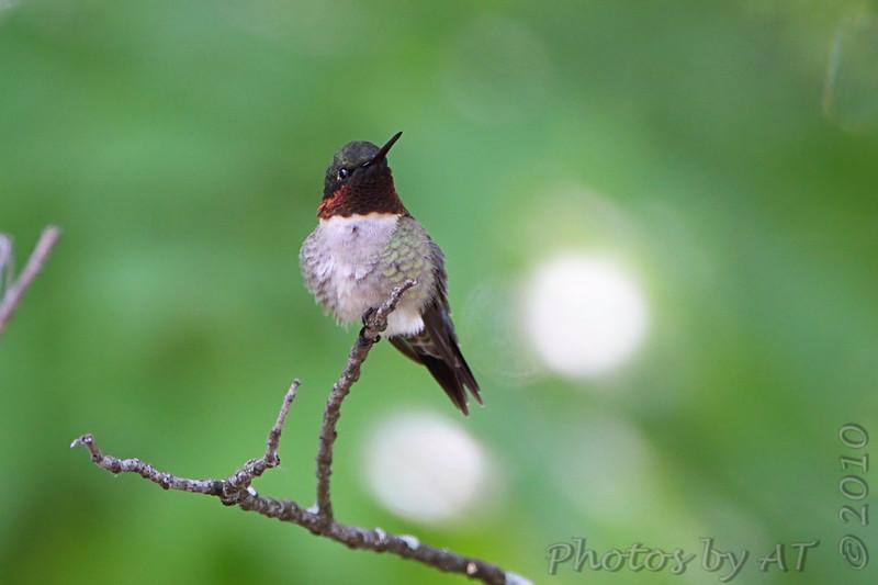 Ruby-throated Hummingbird <br /> Bridgeton. Mo.