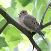 Mourning Dove <br /> City of Bridgeton <br /> St. Louis County, Missouri <br /> 2010-05-02