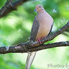 Mourning Dove <br /> City of Bridgeton <br /> St. Louis County, Missouri <br /> 2010-05-03