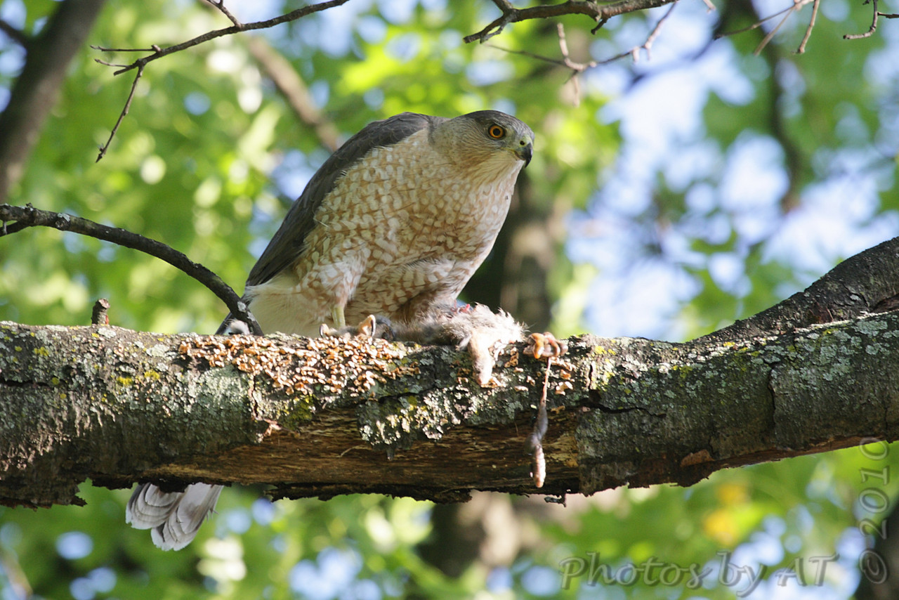 Cooper's Hawk <br /> Bridgeton, Mo.