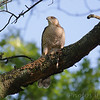 Cooper's Hawk <br /> City of Bridgeton <br /> St. Louis County, Missouri <br /> 2010-05-05