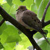 "Mourning Dove  <br>  City of Bridgeton <br> St. Louis County, Missouri <br> 2010-05-02 <br> <br><span class=""noShowSmart""> <a href=""/MyKeywords/Bird-Videos/n-gF9bt/i-rCCpf4G/A""> <span style=""color:yellow"">Click here to open video in lightbox/full screen</span></a> </span>  <span class=""noShowGallery""> <a href=""/Birds/Birding-2010-May/2010-05-Yardbirds/i-rCCpf4G/A""> <span style=""color:yellow"">Click here to open video in lightbox/full screen</span></a> </span>"