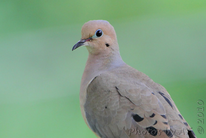 Mourning Dove <br /> City of Bridgeton <br /> St. Louis County, Missouri <br /> 2010-05-19